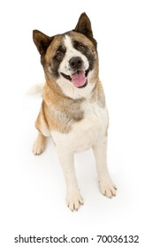 An Akita dog sitting down and looking forward. Isolated on white.