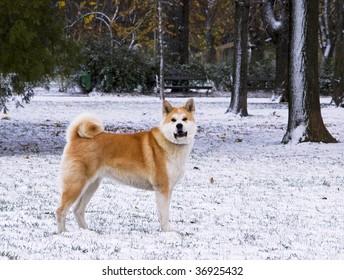 Akita dog winter