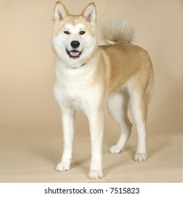 Akita inu (14 months) in front of white background