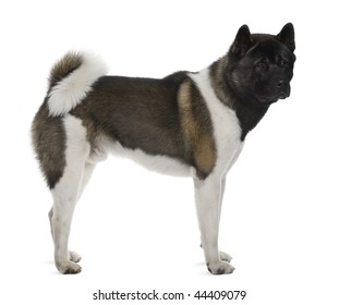 Akita Inu, 16 months old, standing in front of white background, studio shot