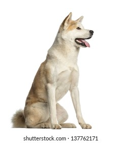 Akita Inu, 2 years old, sitting and panting, isolated on white