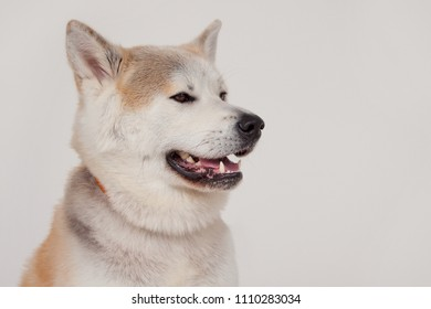Akita inu close up. Akita ken or japanese akita. Isolated on a gray background.