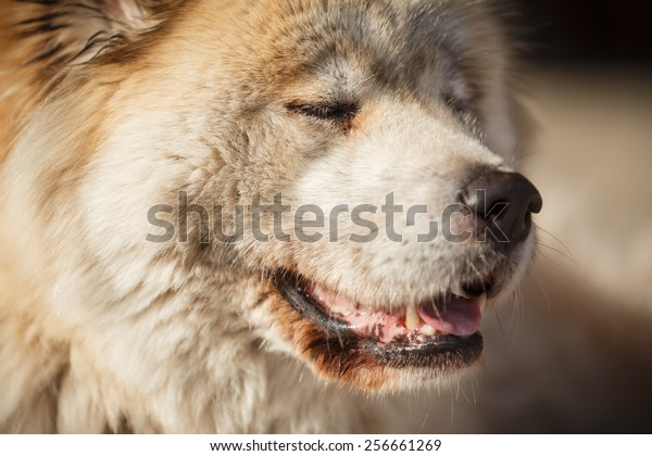 Akita inu with closed eyes, old dog