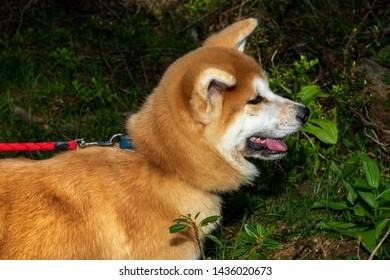 Akita inu dog close-up portrait. Japanese Dog Akita Inu. Shiba inu.  6 months old puppy portrait. Dog portrait. Akita Inu on a background of green grass