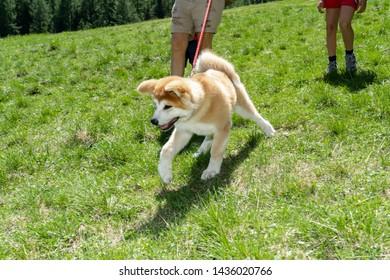 Akita inu dog close-up portrait. Japanese Dog Akita Inu. Shiba inu.  6 months old puppy portrait. Dog portrait. Akita Inu on a background of green grass. Trekking