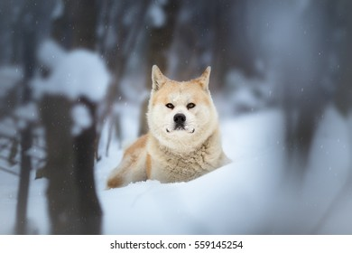 Akita Inu dog in the forest