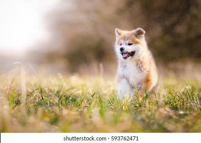 Akita inu dog playing on the grass