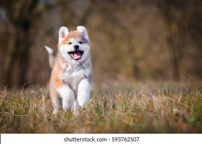 Akita inu dog playing on the grass
