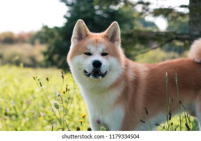 Akita inu dog posing outside in good weather. Japanese akita portrait.