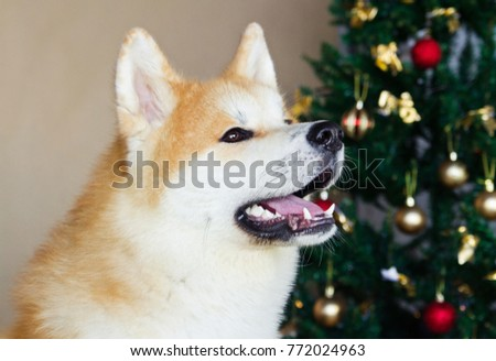 Akita inu dog posing in the studio with christmas decorations. Christmas time and gifts.