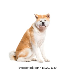 Akita Inu dog sitting, isolated