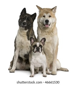 Akita inu dogs and French bulldog sitting in front of white background