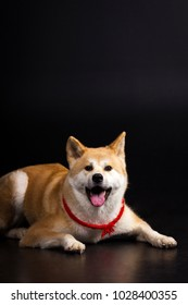 Akita inu (japanese akita) looking forward on black background at studio