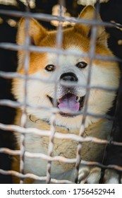Akita Inu locked in a cage
