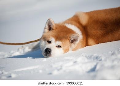 Akita inu on the snow