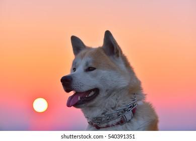 Akita Inu portrait at sunset