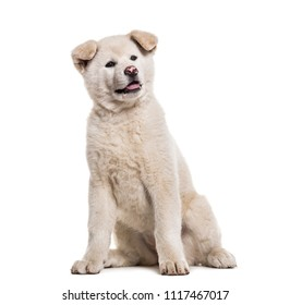 Akita Inu puppy, 2 months old, sitting against white background