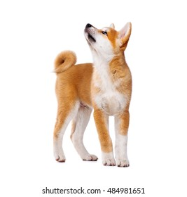 Akita Inu purebred puppy dog isolated on white background. Shiba inu. 3 months old puppy standing and looking up