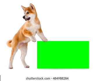 Akita Inu purebred puppy dog isolated on white background. Shiba inu. 3 months old puppy standing on empty green screen billboard for your text or image