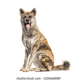 Akita Inu sitting in front of white background