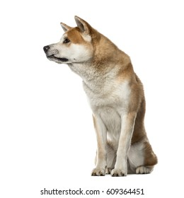 Akita Inu sitting and looking away, 22 months old , isolated on white