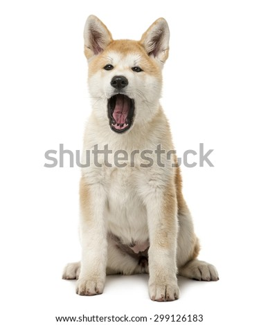 Akita Inu sitting and yawning in front of a white background