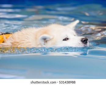 Akita is swimming in a dog's pool.