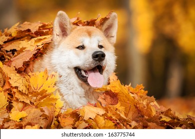 Akita-inu dog lying in leaves in autumn