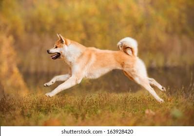 Akita-inu dog running in autumn