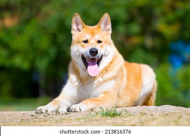 Akita-Inu, young dog portrait outdoors