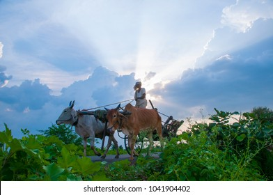 AKOLA, MAHARASHTRA, INDIA 10 NOVEMBER 2016 : Unidentified Indian farmer riding bullock cart at sunset it is transportation of rural village.