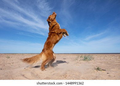 aktiv dog on the beach playing, jumping for a toy. Nova Scotia duck tolling Retriever, Toller for the holidays. Travelling with a pet