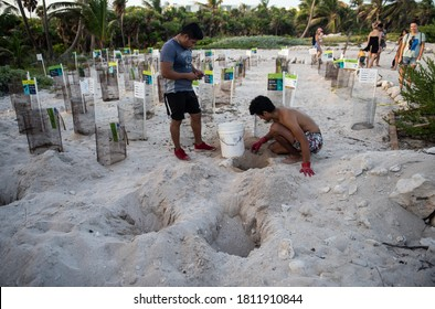 Akumal, Quintana Roo, Mexico. 30-08-2020. Volunteers help newborn turtles