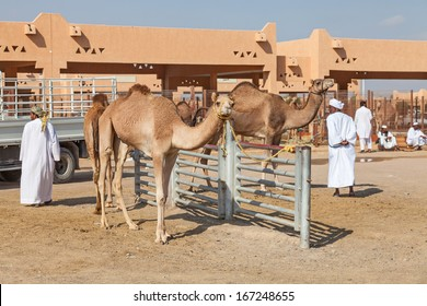 AL AIN, UAE, DECEMBER 2009: Camel Market in Al Ain. December 01, 2009