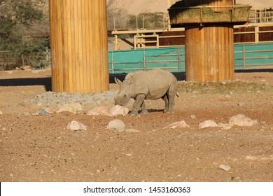 Al Ain, UAE, Al Ain Zoo, 13 July 2019 - African Rhinoceros in Al Ain Zoo, United Arab Emirates