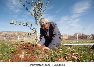 AL KHADER, PALESTINIAN TERRITORY - FEBRUARY 10: A Palestinian farmer plants olive tree seedlings in the Ein El Qassis area of Al Khader village, West Bank, February 10, 2013.