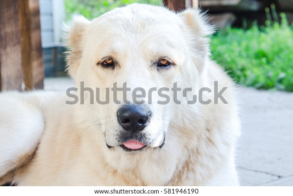 Alabai dog showing tongue