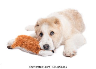 Alabai puppy and a fox toy. Alabai - An Ancient Breed From The Regions Of Central Asia.