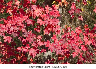 Alabama Red Maple Leaves in Fall Colors