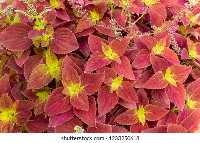 """Alabama Sunset"" coleus (Plectranthus scutellarioides) - Pembroke Pines, Florida, USA"
