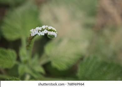 Wild Heliotrope Images, Stock Photos & Vectors | Shutterstock