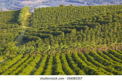 ALAJUELA, COSTA RICA - MARCH 23, 2005: Coffee plantation, on fertile slopes of Poas Volcano in the Central Highlands. High-yield arabica hybrid coffee bushes produce gourmet coffee for export.