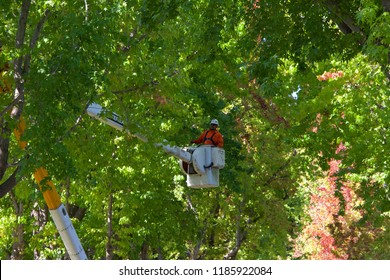 Alameda, CA - September 20, 2018: City workers in trimming the liquid amber trees on residential a street. Thinning the canopy on trees increases air and sunlight, resulting in fewer disease problems