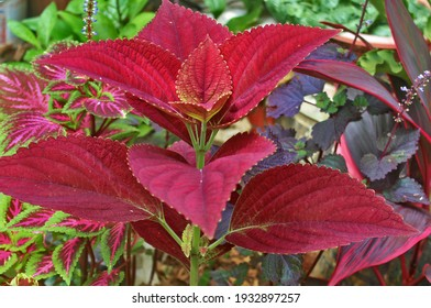 Alamy Close up of the flowering, Colorful leaves, Coleus hybrid flowers