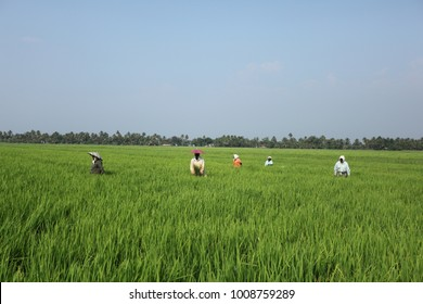 Alappuzha, Kerala, India - January 29, 2011: A group of Indian women at the agricultural farm in Kerala.