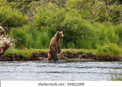 Alaska. Bear and bear cub.