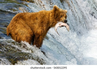 Alaska. Bears catch fish.