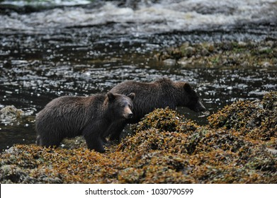 Alaska. Bears on the river near  Juneau