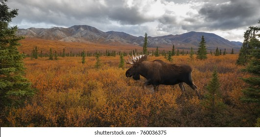 An Alaska bull moose wanders through Denali National Park & Preserve, Alaska.