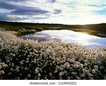 Alaska Cotton by the pond in sunset